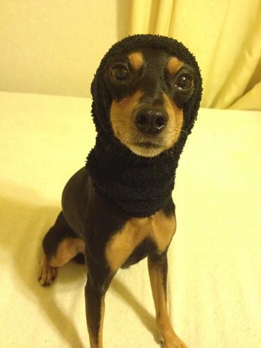 黒犬冬のファッション、ほっかむり。@ミニピン