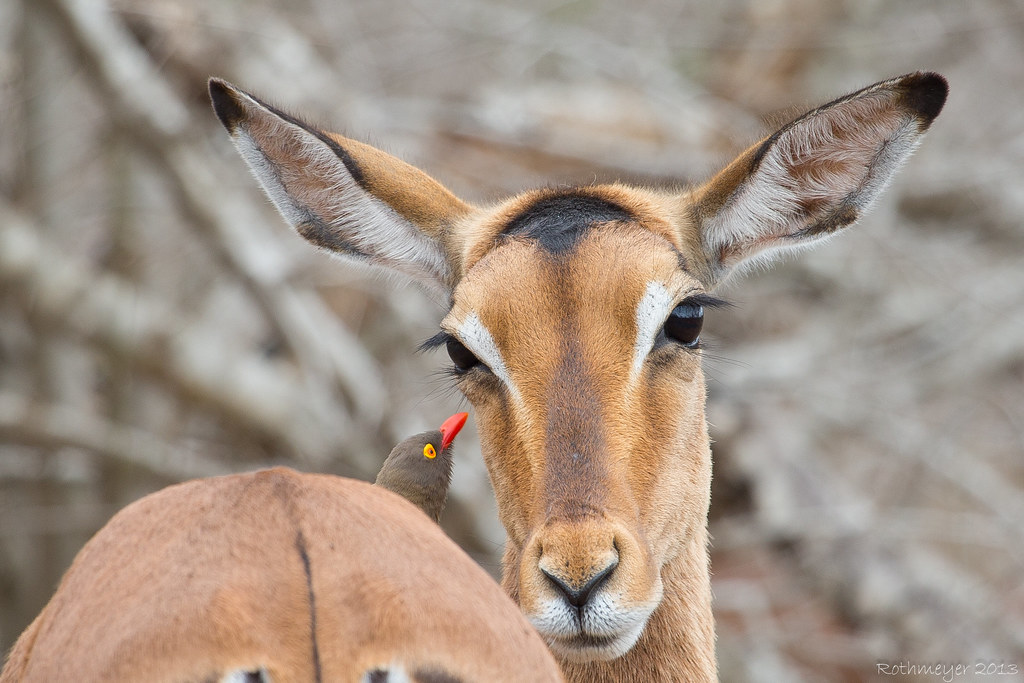 Female Impala and Red-billed Oxpecker (Buphagus erythrorhynchus)