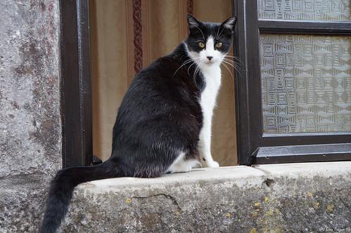 Gato blanquinegro (2)