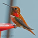 The Male Rufous by jimgspokane