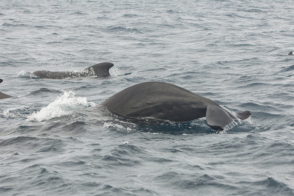 Short Finned Pilot Whale      2013-12-04