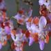 Small photo of Phalaenopsis pulcherrima var. champornensis