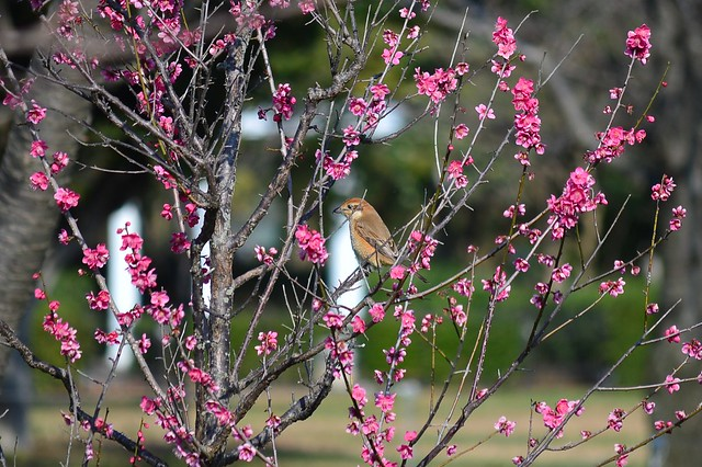 梅とモズ Plum blossoms and Bull-headed shrike