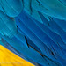 Plumage detail, Blue-and-yellow Macaw, Ara araruana