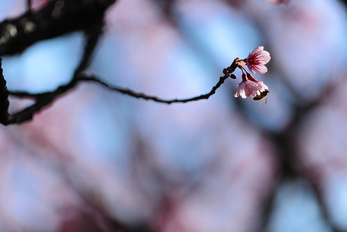 Kiss from a Cherry ~ 平菁街,寒櫻 SAKURA Cherry blossoms  ~