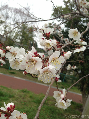 臥竜梅(西公園2013/4/6)