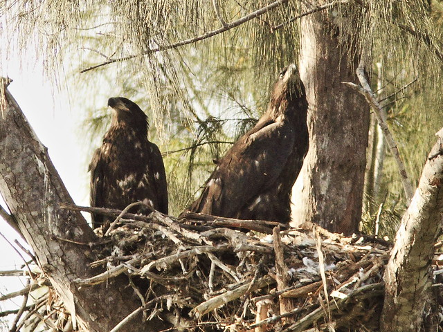 Bald Eaglets Honor and Glory watch parent  20140328