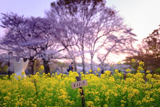 20140410_02_Cherry blossom & Field mustard