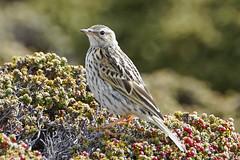 Cachirla Común / Bailarín Chico / Falkland Pipit / Anthus correndera grayi