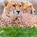 Brothers   Gepard - cheetah ( Acinonyx jubatus )