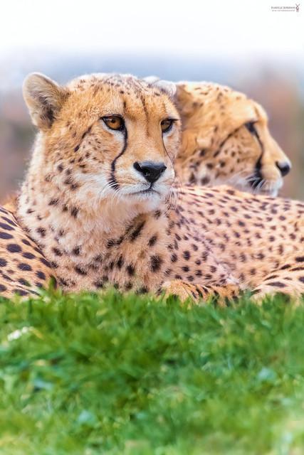 Brothers | Gepard - cheetah ( Acinonyx jubatus )