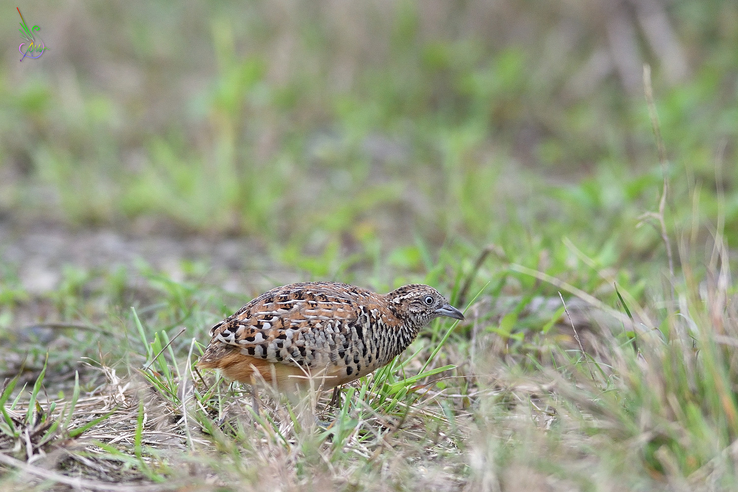 Barred_Buttonquail_8624