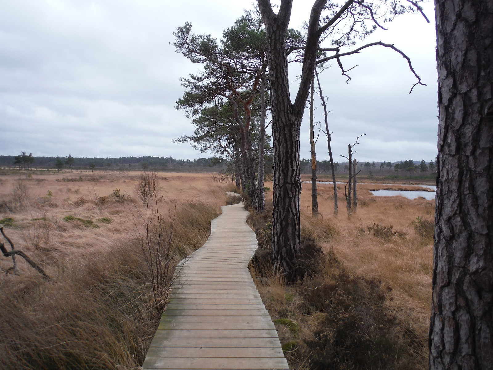 Boardwalk in Pudmore Pond Area,Thursley Common SWC Walk 144 Haslemere to Farnham - Thursley Common Extension (Pudmore Pond Extension-within-the-Extension)
