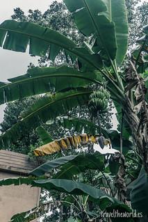 Selva platanos