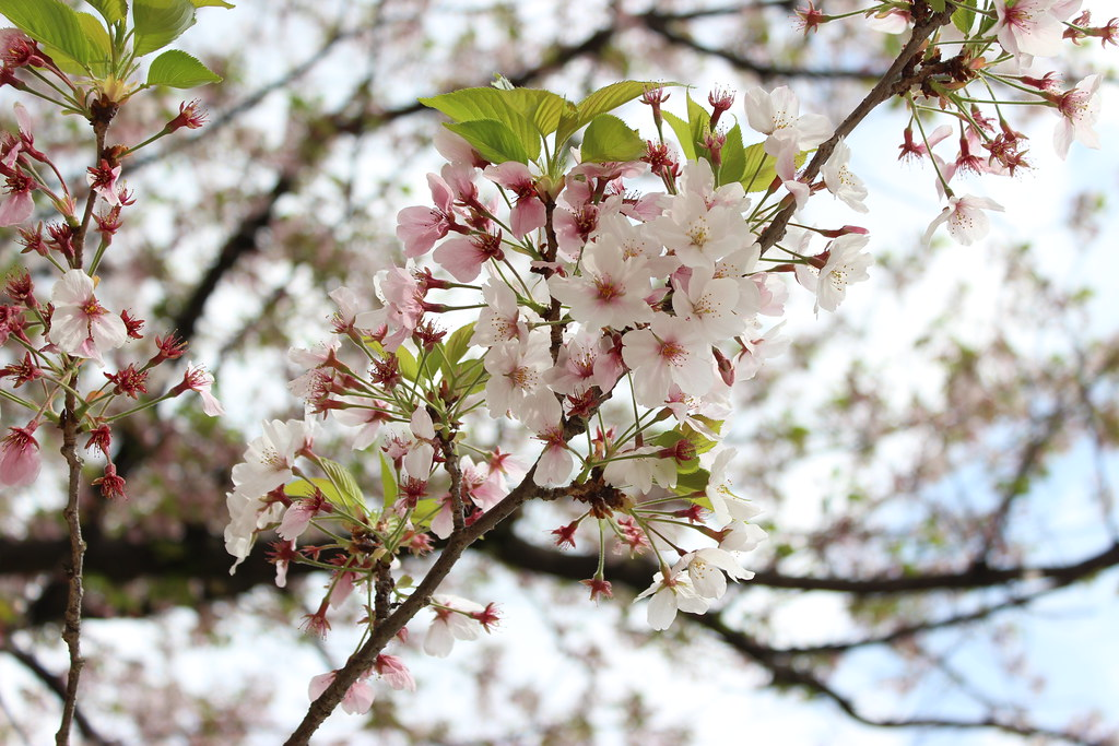 Cherry Blossom Sakura 2017, Fukuoka Nishi Park Japan