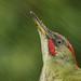 Pica-pau-verde, Green Woodpecker (Picus viridis) by xanirish
