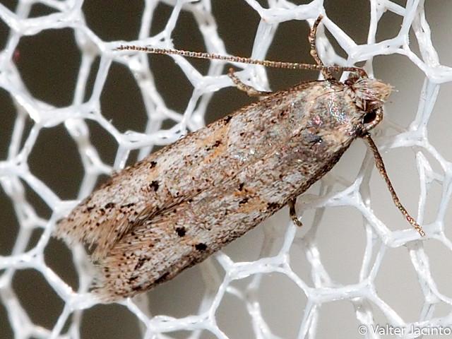 Borboleta Noturna // Moth (Dysspastus fallax)