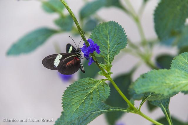 Doris Longwing Butterfly JN104522