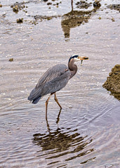 Blue Heron Catched Little Fish