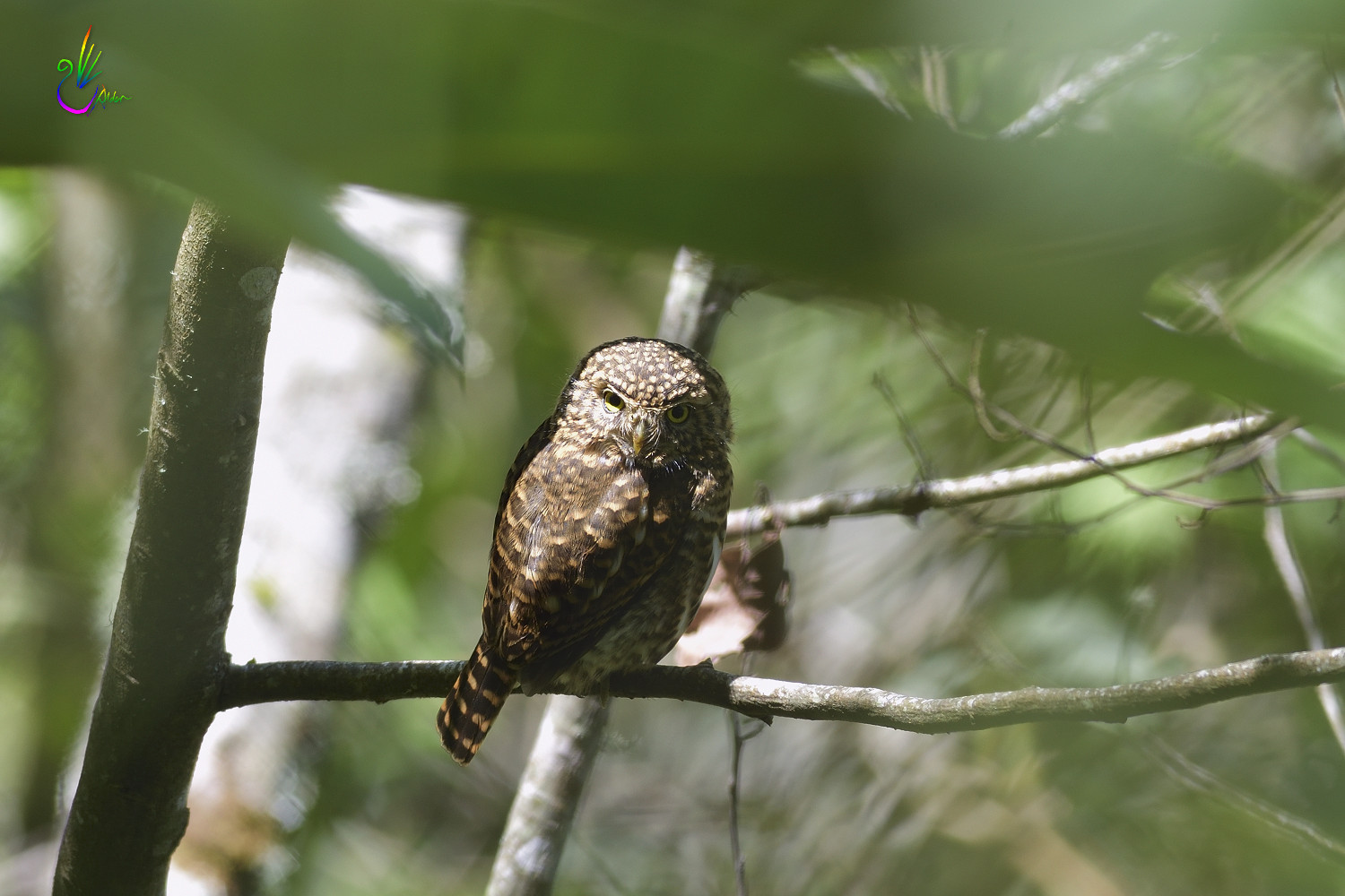 Collared_Pigmy_Owlet_4370