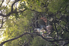 Harpy Eagle with prey