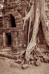 tree roots and ruins of Ta Phrom, Angkor Wat