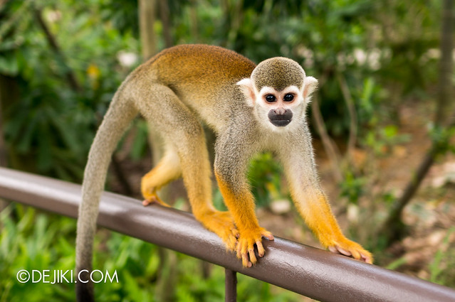 River Safari - Squirrel Monkey 6