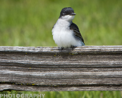 Eastern Kingbird by Ricky L. Jones Photography