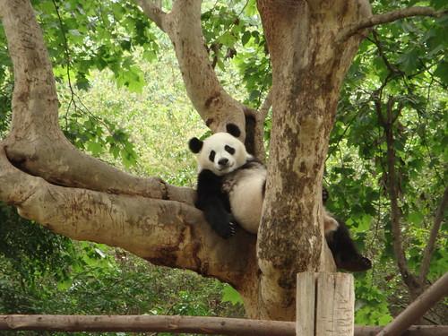 Lazy panda :)