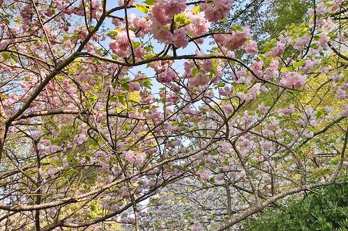 【写真】2013 桜 : 梅宮大社/2019-06-14/IMGP0207