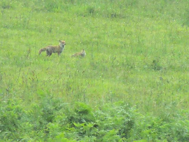 2013-6-29白馬キツネの親子