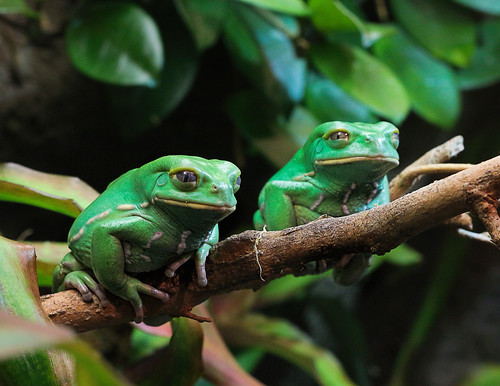 green-frogs-hanging-out-ga-aquarium