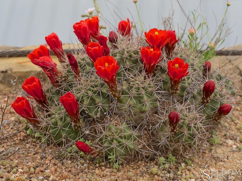 Nipple cactus, redux