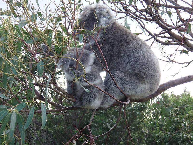 Koala mother & joey