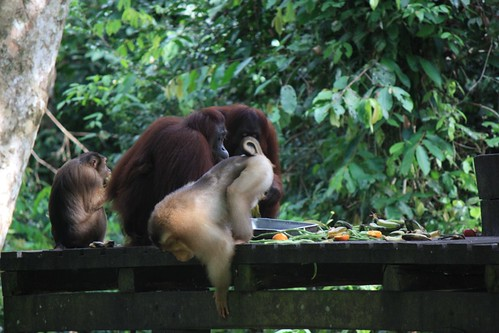 big monkey found a new job. bouncer for the orangutan food. pay = orangutan food.