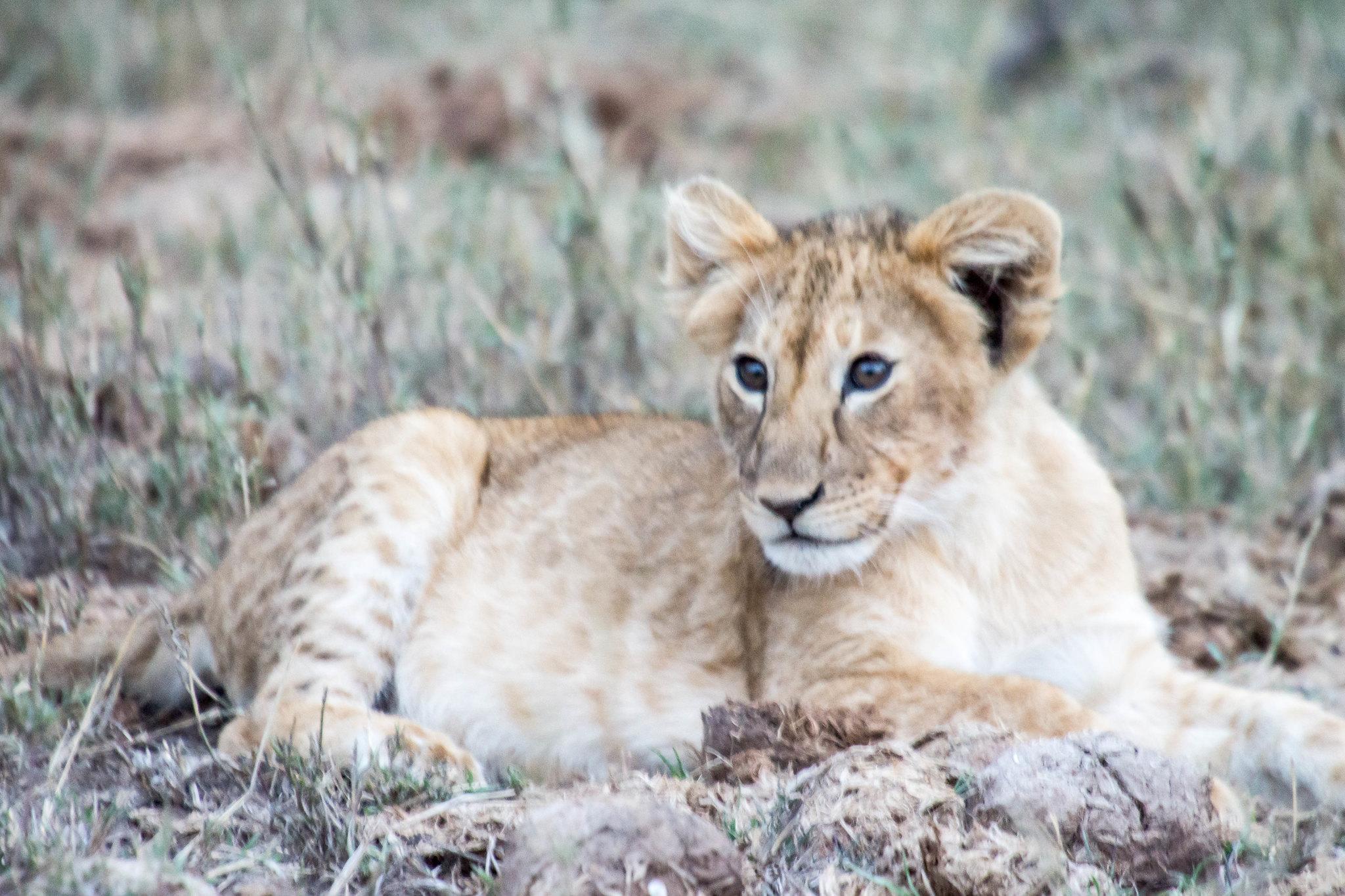 lion cub 3-2.jpg