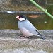 Exotic bird..now Identified as 'Java Sparrow' (Padda oryzivora). by Tobysmum