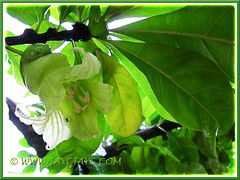 Exotic yellow-green flowers of Crescentia cujete (Calabash Tree), 3 Oct 2013