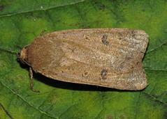 2109 Lesser Yellow Underwing - Noctua comes