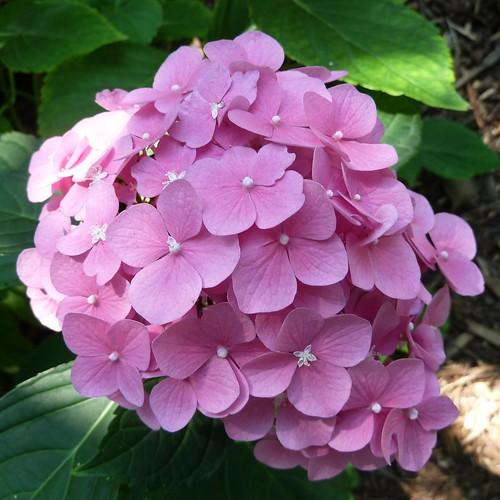 Lisle, IL, Morton Arboretum, Pink Hydrangea Flowers