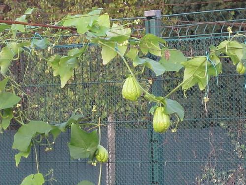 zucchini spinosi