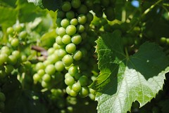 Winery - Grapes up Close!