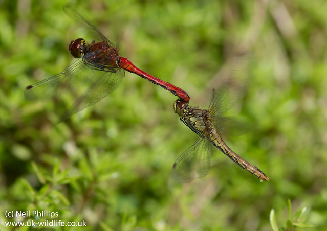 Ruddy darter tandem pair in flight-2
