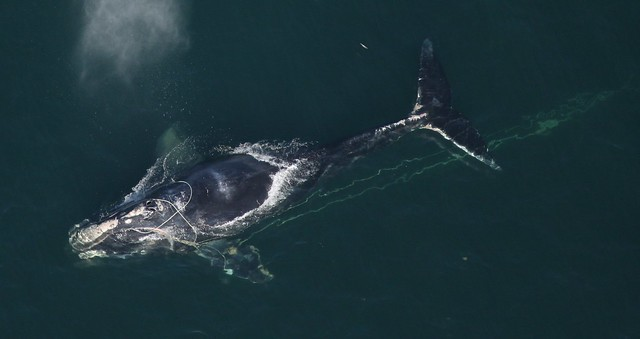 photo of right whale