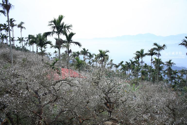 台南私藏景點--梅嶺梅花季  2013 (11)