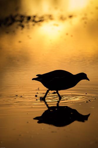 sunset england bird birds silhouette unitedkingdom wwt slimbridge moorhen strouddistrict