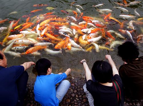 Feeding koi carp. Shenzhen.