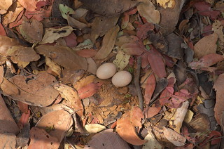 Aerial Fiery-necked Nightjar Eggs