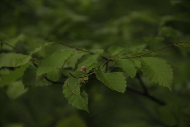 ブナの葉の上で見つけたムシコブ.きれいなピンク色だった.