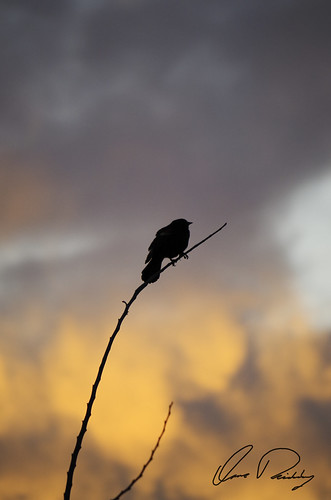 Blackbird At Sunset